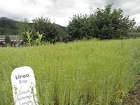 Planta del lino en  Igartubeiti