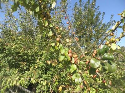 Las manzanas de Igartubeiti